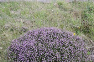 Heather along the rail line